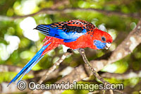 Crimson Rosella Photo - Gary Bell