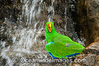 Eclectus Parrot at waterfall Photo - Gary Bell