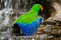 Eclectus Parrot washing at waterfall Photo - Gary Bell