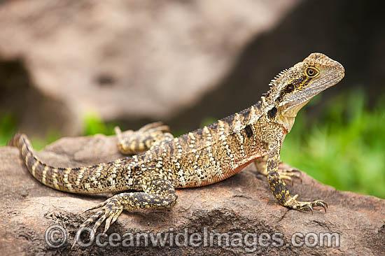Australian Water Dragon Lizard: Garden Lizards Victoria