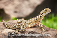 Water Dragon image