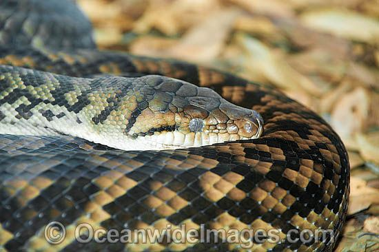 Woma Python (Aspidites ramsayi). Found in desert and adjacent areas of central Australia. Listed as Endangered on the IUCN Red List. Now a Protected species. Non venomous. Photo - Gary Bell