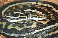 Woma Python Photo - Gary Bell