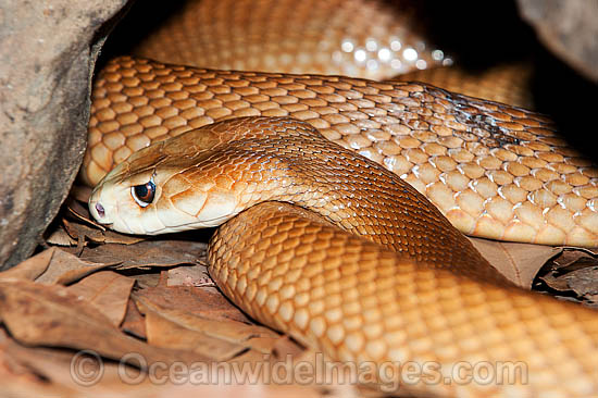 Coastal Taipan (Oxyuranus scutellatus). Eastern Queensland, Australia. Extremely venomous and dangerous snake. Can deliver multiple fatal bites in rapid succession. Photo - Gary Bell