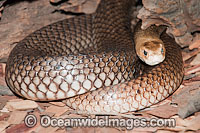 Eastern Brown Snake Photo - Gary Bell