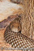 King Brown Snake Pseudechis australis Photo - Gary Bell