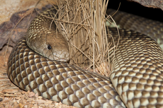 King Brown Snake (Pseudechis australis). Also known as Mulga Snake. Found throughout Australia, except Victoria, Tasmania and southern WA, SA and NSW. This very large snake is extremely venomous and dangerous. Photo - Gary Bell