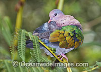 Emerald Dove Chalcophaps indica photo