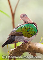 Emerald Dove image