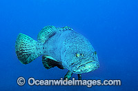 Queensland Groper Epinephelus lanceolatus photo