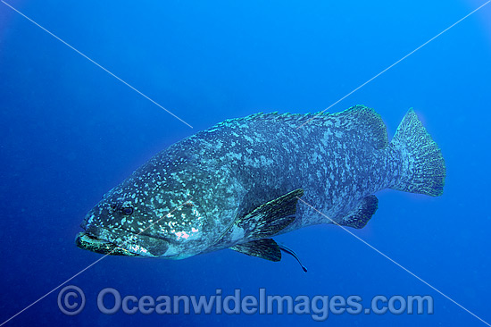 Queensland Groper (Epinephelus lanceolatus), size: 220cm. Also known as Queensland Grouper and Giant Grouper. Throughout Indo-West Pacific. Photo taken on SS Yongala shipwreck, Great Barrier Reef, Qld, Australia. Classified Vulnerable on IUCN Red List.