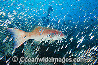 Coral Trout amongst Cardinalfish photo