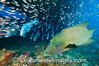 Napolean Wrasse, Sweetlips and Cardinalfish photo