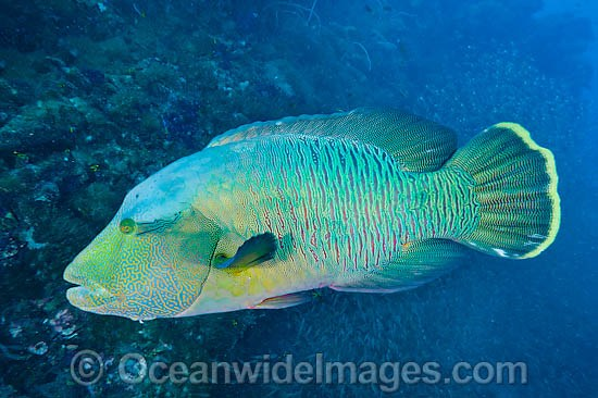 Napolean Wrasse (Cheilinus undulatus). Also known as Humphead Maori Wrasse, Napolean Wrasse, Double-headed Maori Wrasse and Giant Maori Wrasse. Found throughout the Indo-West Pacific. Photo taken on SS Yongala shipwreck, Great Barrier Reef, QLD, Australia Photo - Gary Bell
