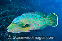 Napolean Wrasse at Yongala Shipwreck photo