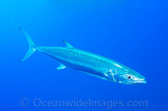 Wahoo (Acanthocybium solandri). A highly prized gamefish. Also known as Mackerel and Ono, this fish has been recorded at over 2 metres in length and 80 kg. Found in all tropical seas worldwide. Photo taken on the Great Barrier reef, Queensland, Australia