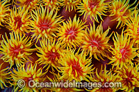 Sunshine Coral Photo - Gary Bell