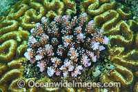 Acropora Coral living in Brain Coral Photo - Gary Bell