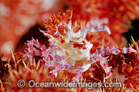 Candy Crab Hoplophrys oatesii Photo - Gary Bell