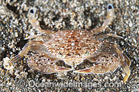 Swimmer Crab Photo - Gary Bell