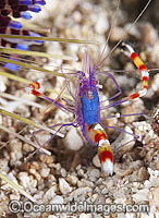 Cleaner Shrimp near Fire Urchin Photo - Gary Bell