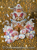 Harlequin Shrimp on Sea Star Photo - Gary Bell