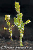 Halimeda Ghost Pipefish Solenostomus sp. Photo - Gary Bell