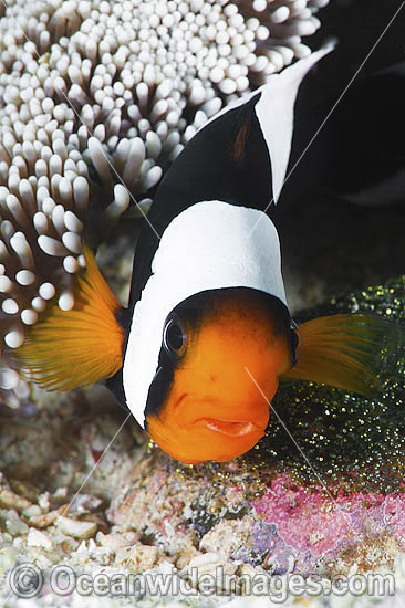 Panda Clownfish (Amphiprion polymnus), with eggs. Also known as Saddleback Anemonefish. Found in association with sea anemones throughout the Indo-West Pacific, with geographical colour variations. Anilao, Philippines. Coral Triangle. Photo - Gary Bell