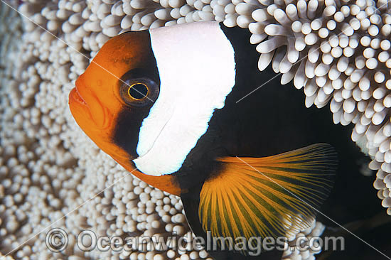 Panda Clownfish (Amphiprion polymnus). Also known as Saddleback Anemonefish. Found in association with sea anemones throughout the Indo-West Pacific, with geographical colour variations. Photo taken off Anilao, Philippines. Within the Coral Triangle. Photo - Gary Bell
