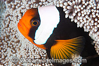 Panda Clownfish Amphiprion polymnus Photo - Gary Bell