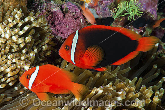 Tomato Anemonefish (Amphiprion frenatus), pair in a Sea Anemone. Also known as Bridled Anemonefish. Found throughout South-East Asia, western Pacific to Japan. Photo taken in Philippines. Within the Coral Triangle. Photo - Gary Bell
