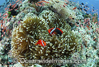 Tomato Anemonefish pair Photo - Gary Bell