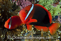 Tomato Anemonefish pair in anemone Photo - Gary Bell