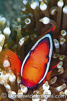 Tomato Anemonefish Photo - Gary Bell