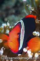 Tomato Anemonefish in Anemone Photo - Gary Bell
