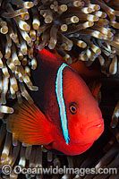 Tomato Anemonefish photo