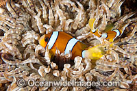 Clark's Anemonefish Photo - Gary Bell