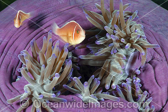 Pink Anemonefish (Amphiprion perideraion), in a Sea Anemone. Found in association with large sea anemones throughout Indo-West Pacific, including the Great Barrier Reef. Geographically variable. Photo - Gary Bell