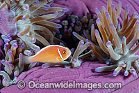 Pink Anemonefish Amphiprion perideraion photo