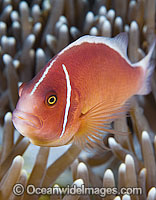 Pink Anemonefish photo