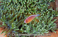 Pink Anemonefish in Anemone Photo - Gary Bell