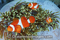 Western Clownfish Amphiprion ocellaris photo