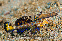 Orange-black Dragonet Dactylopus Kuiteri Photo - Gary Bell