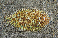 Carpet Sole Liachirus melanospilos photo