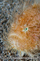 Striped Frogfish Antennarius striatus photo