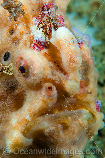 Giant Frogfish (Antennarius commersoni). Also known as Giant Anglerfish. Found throughout the Indo-West Pacific. Photo taken off Anilao, Philippines. Within the Coral Triangle.