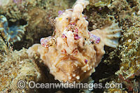 Giant Frogfish Antennarius commersoni photo