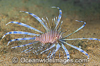 Clearfin Lionfish Pterois kodipungi photo