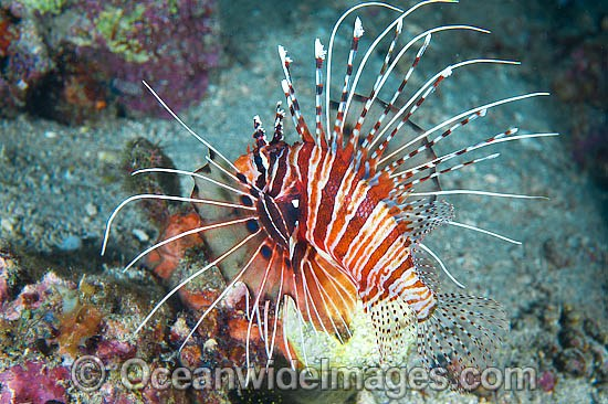 Ragged-finned Lionfish (Pterois antennata). Also known as Spotfin Lionfish. Found throughout the Indo-West Pacific, including the Great Barrier Reef, Australia.