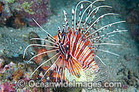 Clearfin Lionfish image